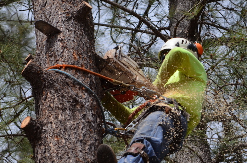 Close up picture of our employee in a large tree cutting off old limbs in Carmel, IN